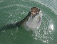 inshore-fishing-miami-74