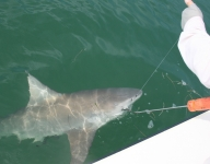 shark-fishing-58