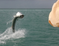tarpon-fishing-106