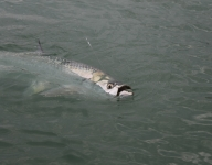tarpon-fishing-136