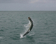 tarpon-fishing-138