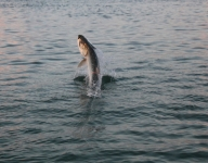 tarpon-fishing-151