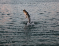 tarpon-fishing-152