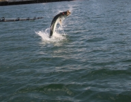 tarpon-fishing-154