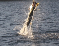 tarpon-fishing-161