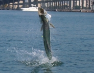tarpon-fishing-178