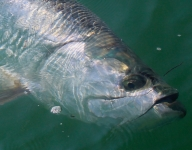 tarpon-fishing-180