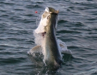 tarpon-fishing-199