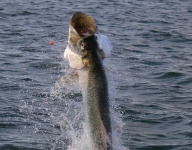 tarpon-fishing-200