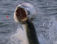tarpon-fishing-201