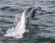 tarpon-fishing-202