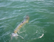 tarpon-fishing-210