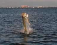 tarpon-fishing-220