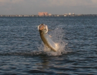tarpon-fishing-221