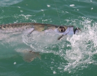 tarpon-fishing-225