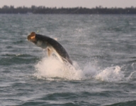 tarpon-fishing-227