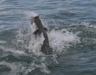 tarpon-fishing-236