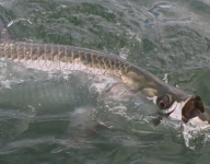 tarpon-fishing-240