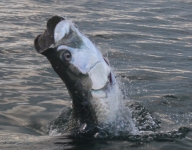 tarpon-fishing-246