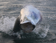 tarpon-fishing-247