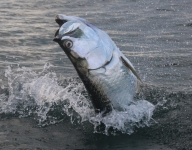 tarpon-fishing-248