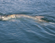 tarpon-fishing-255
