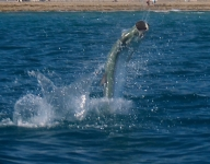 tarpon-fishing-256