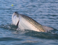 tarpon-fishing-258
