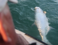 tarpon-fishing-272