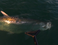 tarpon-fishing-279
