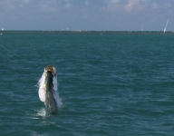tarpon-fishing-298