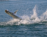 tarpon-fishing-302