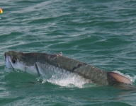 tarpon-fishing-306