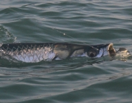 tarpon-fishing-319