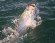 tarpon-fishing-326