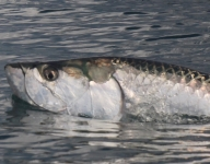 tarpon-fishing-329