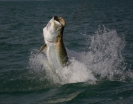 tarpon-fishing-343
