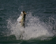 tarpon-fishing-344