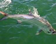 tarpon-fishing-364