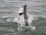 tarpon-fishing-371