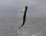 tarpon-fishing-372