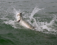tarpon-fishing-376