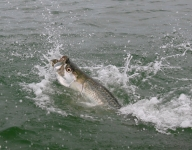tarpon-fishing-377