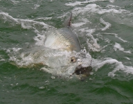 tarpon-fishing-378