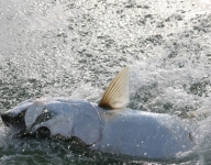 tarpon-fishing-40