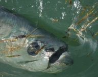 tarpon-fishing-42