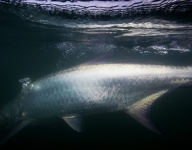 tarpon-fishing-46