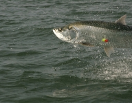 tarpon-fishing-54