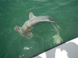 Hammerhead shark fishing Miami