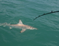 shark-fishing-59